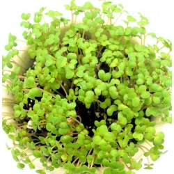 Oriental Yellow Mustard Micro Green Seeds