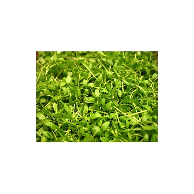 Green Amarathus Micro Green Seeds