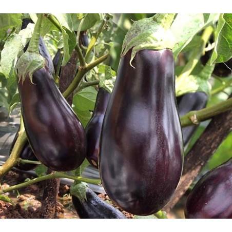Brinjal - Big Baingan Bhartha Variety