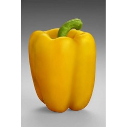 Capsicum - Yellow