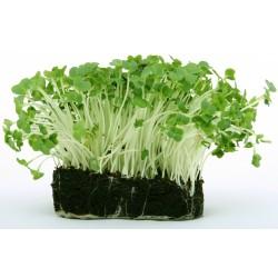 Organic Radish Micro Green Seeds