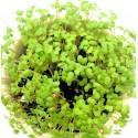 Oriental Yellow Mustard Micro Green Seeds