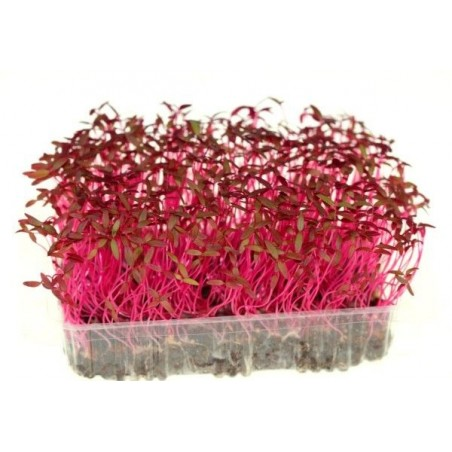 Red Amarathus Micro Green Seeds