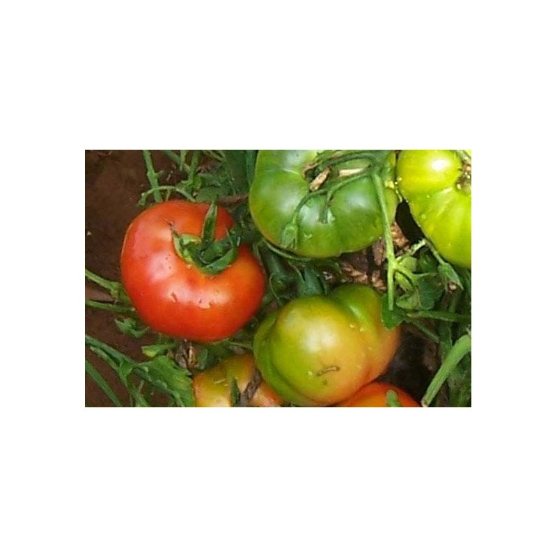 Tomato Country Variety